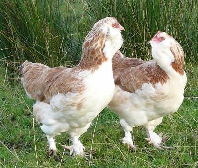 poule faverolle a vendre
