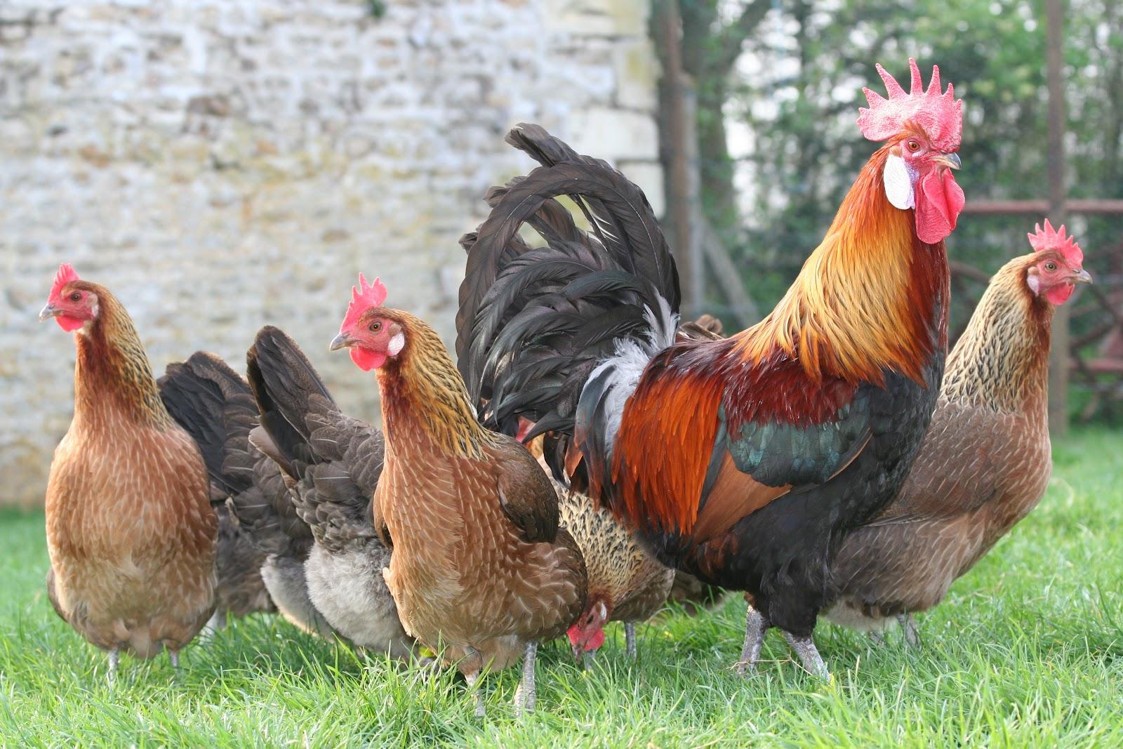 poule gauloise doree a vendre
