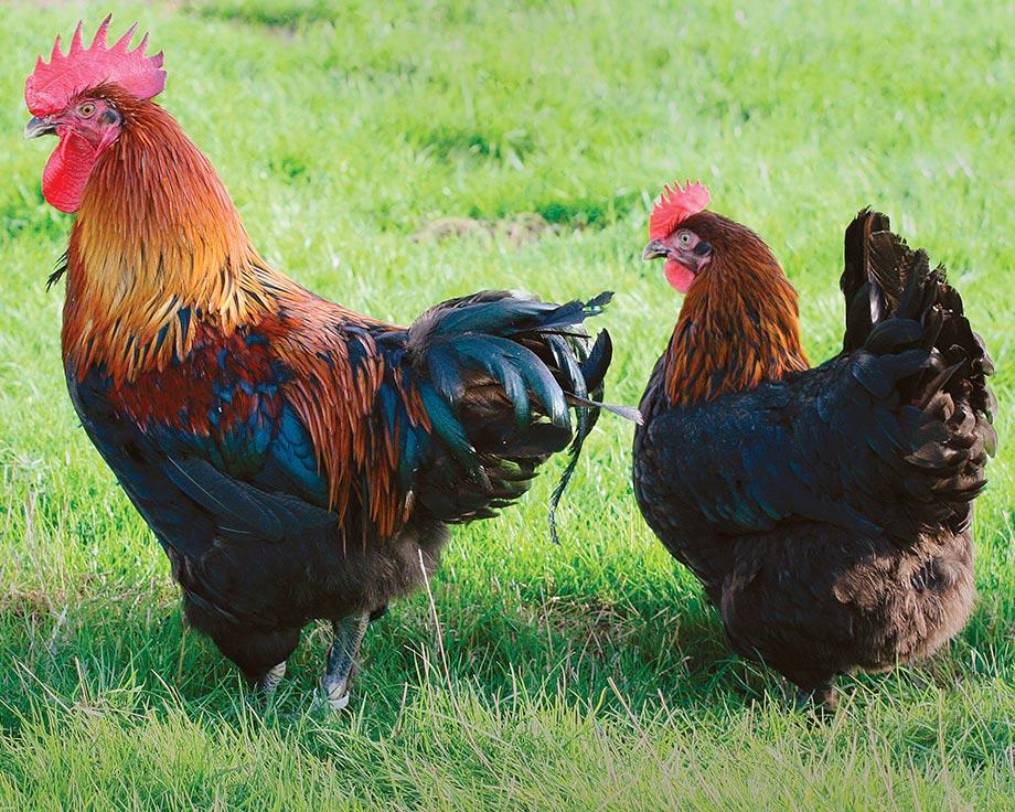 poule marans cuivree