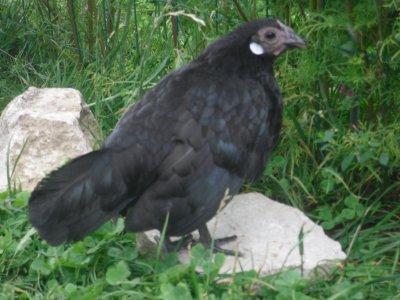 poule naine noire