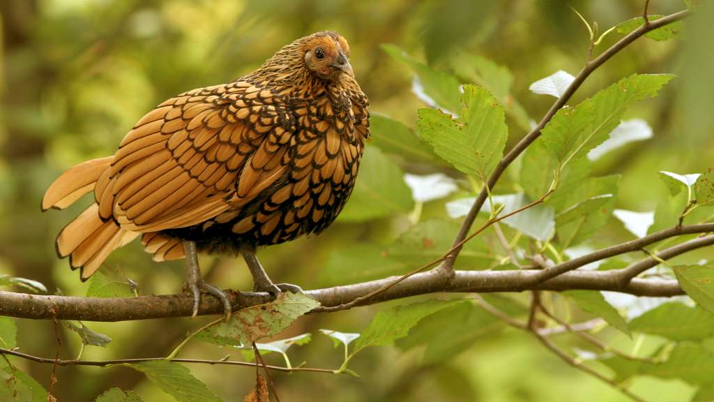 poule naine sebright