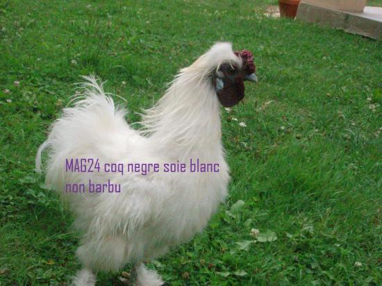 poule negre soie blanche