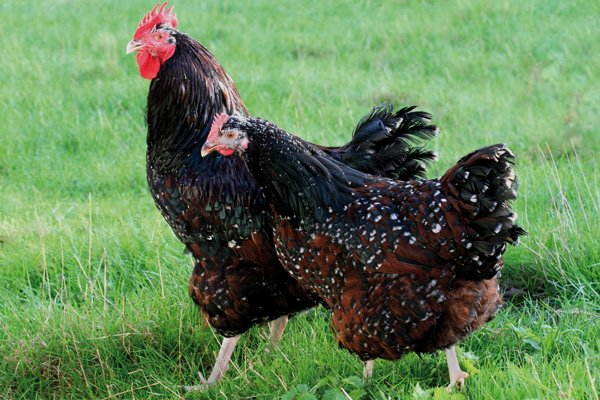 poule sussex tricolore