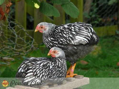 poule wyandotte naine