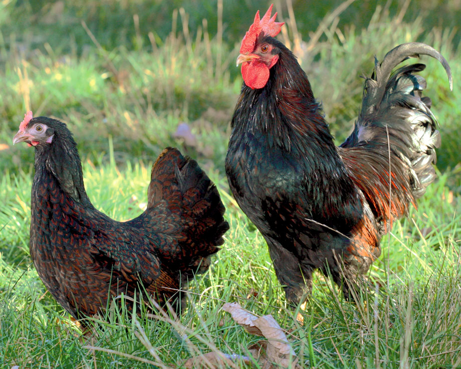 poules naines