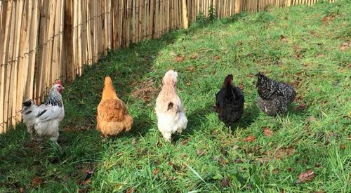 poules pondeuses