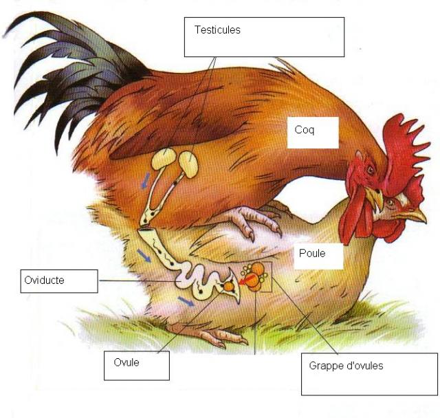 reproduction des poules pondeuses