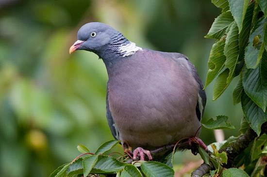 tourterelle pigeon