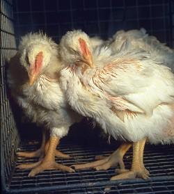 traitement coccidiose poule