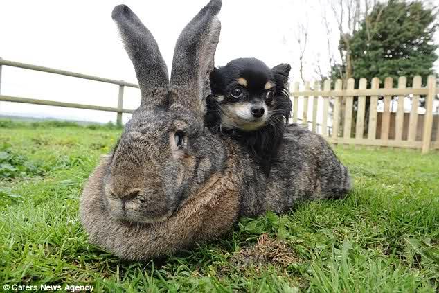 un gros lapin