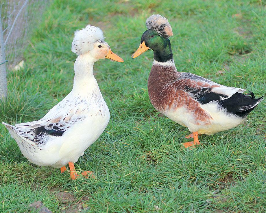 vente de canard vivant