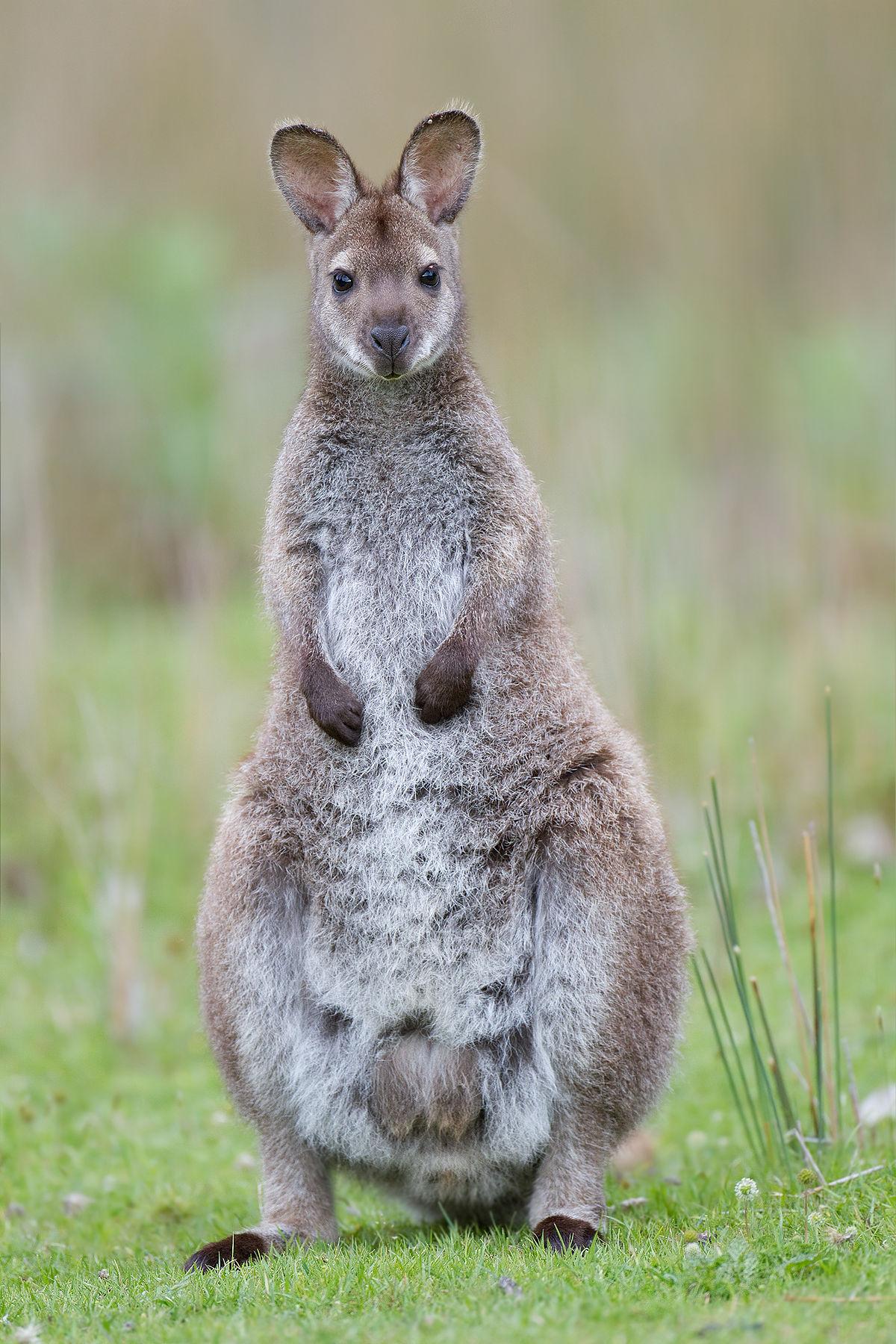wallaby de bennett