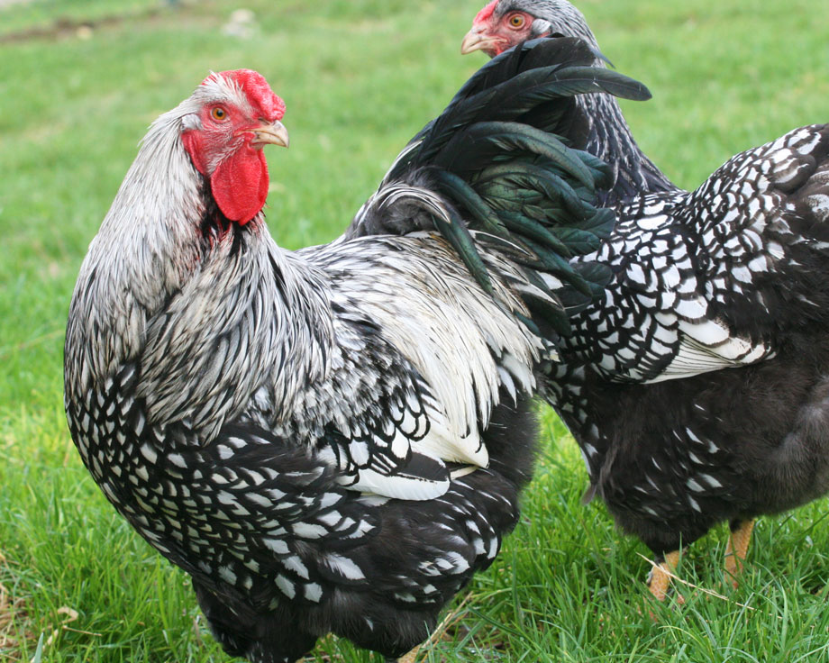 wyandotte poule